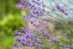 Bush with lavender flowers in blur in sunlight.  stock images