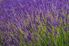 Bush Lavender. Lavender bush with foreground in focus and the background blurred stock images