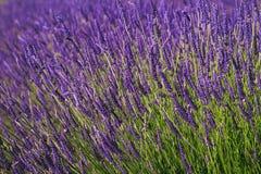Bush Lavender Stock Images