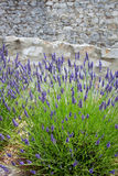 Bush of lavender in front of an old stonewall, Provence, Frrance. Purple lavender plants in front of an old housewall, built from natural stones royalty free stock photography