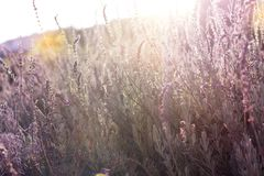 A bush of lavender, illuminated by the sun`s rays.  stock photography
