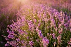 Bush of lavender. Nature composition stock images