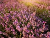 Bush of lavender. Nature composition stock photos