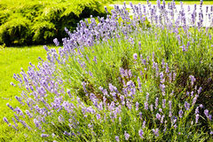 Bush of lavender. Note shallow depth of field stock images