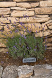 Bush of lavender in Provence , France. Bush of lavender and label lavender in French stock photo