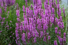 Bush of lavender Royalty Free Stock Photo