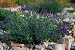 Bush of lavender Stock Photography