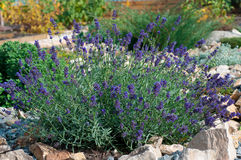 Bush of lavender Stock Photos