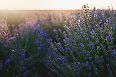 Bush of lavender at sunset. Bush of lavender in blossom at sunset royalty free stock images