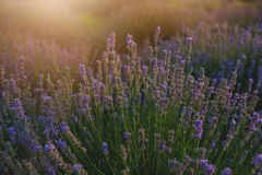 Bush of lavender at sunset. Bush of lavender in blossom at sunset stock photos