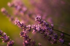 Bush of lavender tree. Lovely bush of lavender tree; shallow depth of field, soft effect stock image