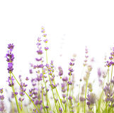 Bush of lavender. Royalty Free Stock Photography