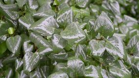 Bush leafs under rain. Fresh green bush leaf under rain by summer stock footage