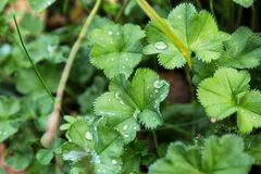 Bush leaves with dew drops. Green bush leaves with tiny dew or rain drops in forest or garden in overcast day. Close-up capture, selective focus Royalty Free Stock Photography
