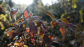 The Bush with leaves in hoarfrost stock video