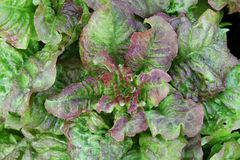 Bush lettuce with iodine - green and purple flowers with dew drops. Bush lettuce with iodine - green and purple colours with dew drops. Gardening stock images