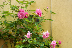 A bush of light pink roses flowering near the yellow wall Royalty Free Stock Photography