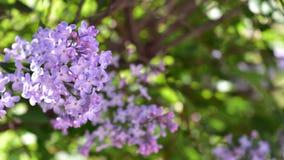 Bush lilás roxo de florescência foto de stock royalty free