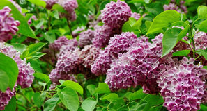 Bush of lilac. Stock Image