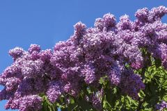 Bush of lilac blossoms against the blue sky. On sunny day stock photo