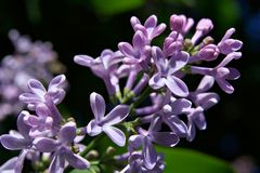 Bush of lilac in early spring Stock Image