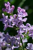 Bush of lilac in early spring Royalty Free Stock Photography