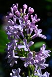 Bush of lilac in early spring Royalty Free Stock Images