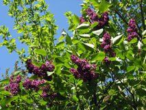 Bush of a lilac Stock Photography
