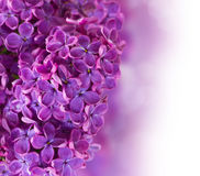 Bush with lilac flowers close up Stock Images