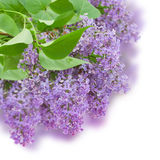 Bush with with lilac flowers. Isolated on white background Royalty Free Stock Photo