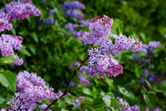 Bush of lilac after rain in cloudy morning Royalty Free Stock Images