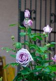 Bush of lilac rose blossoms with a metal gate in he background - Garden flowers blooming in the summer. Vibrant lilac roses blooming on the bush with a metal royalty free stock photo