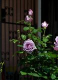Bush of lilac rose blossoms with a metal gate in he background - Garden flowers blooming in the summer. Vibrant lilac roses blooming on the bush with a metal stock photo