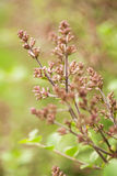 Bush lilas bourgeonne au printemps Photographie stock