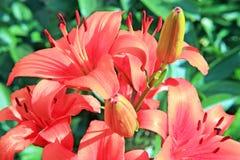 Bush lilies Stock Photo