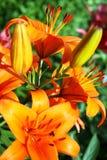 Bush lilies Royalty Free Stock Photo