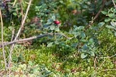 Bush lingon i en skog Royaltyfri Fotografi