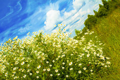 Bush of the little daisies. Bush of the little daisies blooms in summer in the field in the solar cloudy weather royalty free stock photos