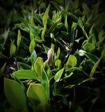Bush Lizard Stock Images