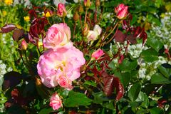 Bush with lush white and pink roses and buds with red and green leaves surrounded by greenery in spring in bright sunlight stock photography