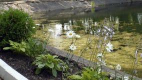 Bush-madeliefjes, overwoekerde vijver, Park, de zomer, bloembed, Stock Afbeeldingen