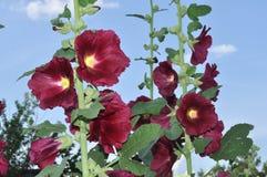 Bush mallow. Grows in the garden Stock Photography