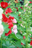 Bush of mallows. Blooming colorful flowers hollyhocks in Moscow Royalty Free Stock Photography