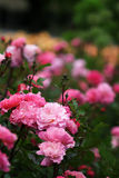 The bush with many bright rose flowers Stock Photography