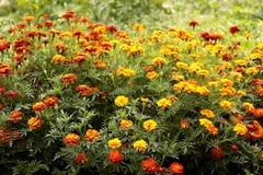 Bush marigold Royalty Free Stock Image