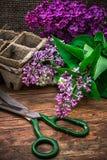 Bush may lilac Stock Images