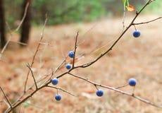 Bush med blåa bär av taggar i skogen Arkivfoton