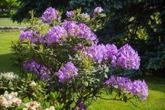 Bush med färgrika blommor Fotografering för Bildbyråer