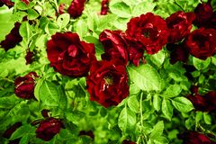 Bush med lösa blekna rosor arkivbilder