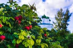 Bush med mogna röda roshöfter Arkivfoton
